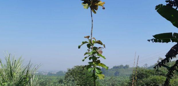 Pohon ' Jati ' Kita : Sudah Tinggi 5 Meter !