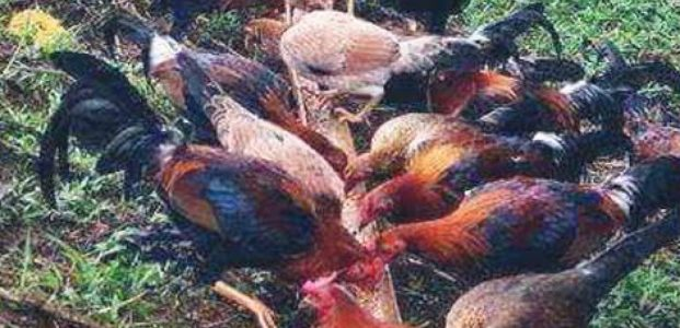 Kandang Ayam ' Kampung ' !